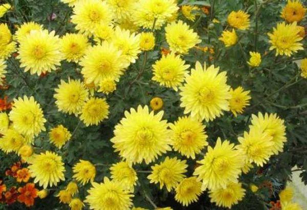 Посевной вид хризантемы