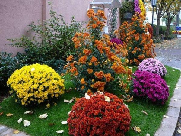 Хризантема сорта Мультифлора