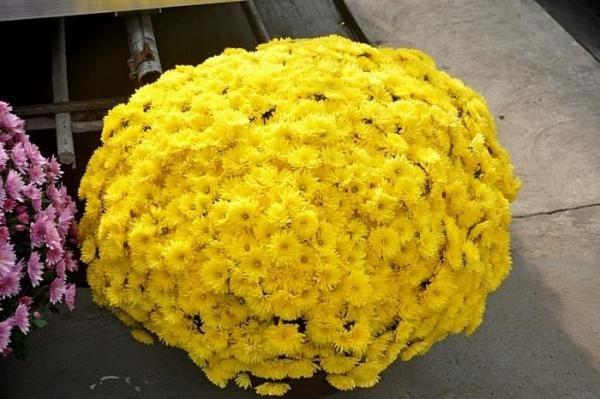 Хризантема Precocita poussin
