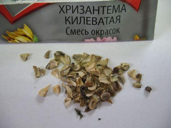 Семена хризантемы лучше покупать в магазине