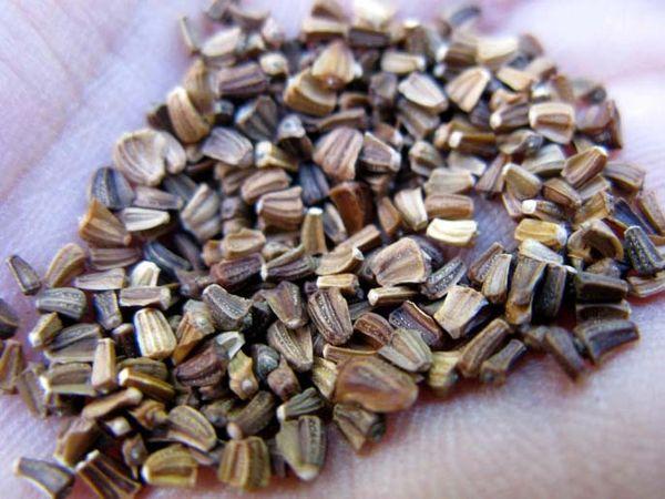 Семена хризантемы для посадки