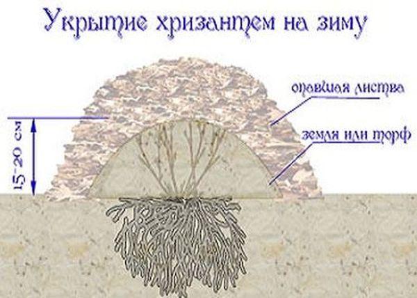 Зимнее укрытие хризантем