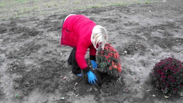 Осенью кусты хризантем выкапывают из грунта