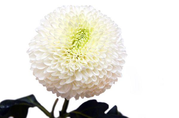 Обзор сортов одноголовых хризантем для сада