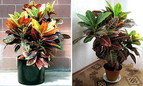 Кодиеум - комнатное растение, представлено лишь кустарниками