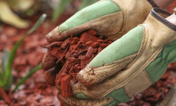 Почву после высадки хризантемы обязательно мульчируйте