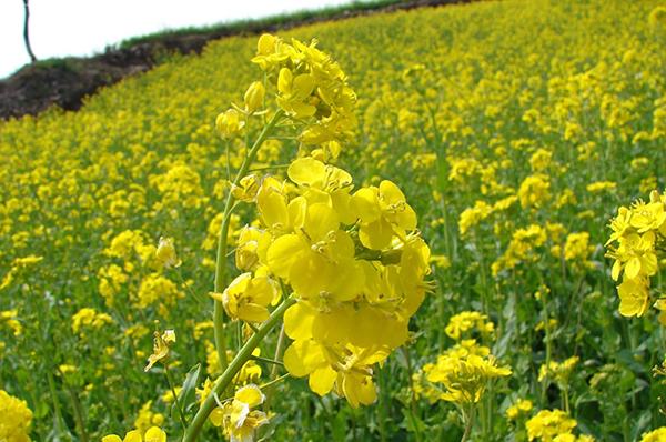 Для посева ранней весной подходят горчица и фацелия, а также рапс яровой и сурепица