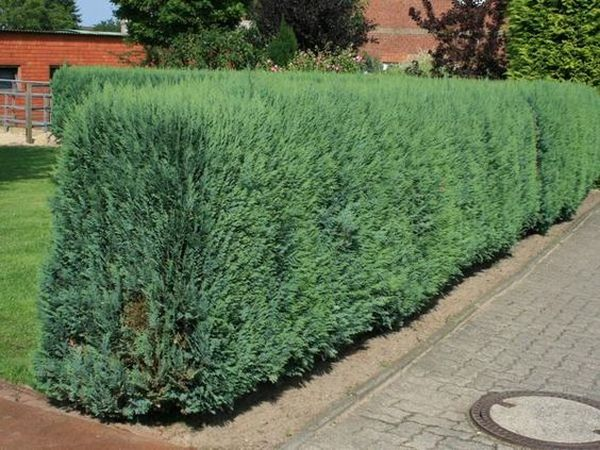 Кипарисовик нетребователен к составу почвы