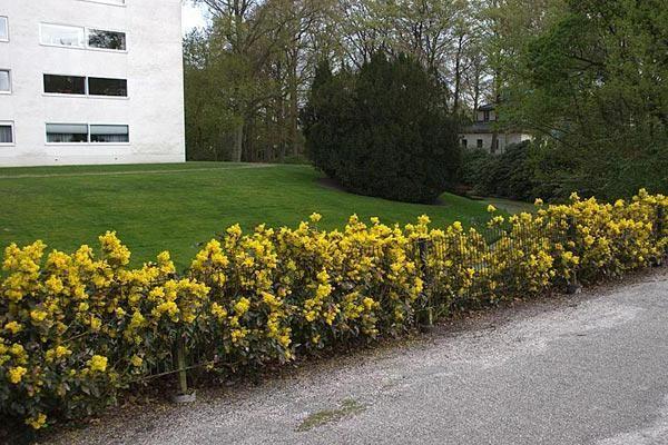 Падуболистная магония - вечнозеленое растение