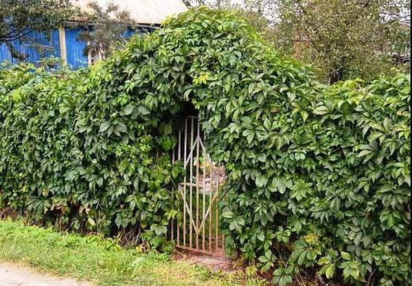Забор украшенные хмелем