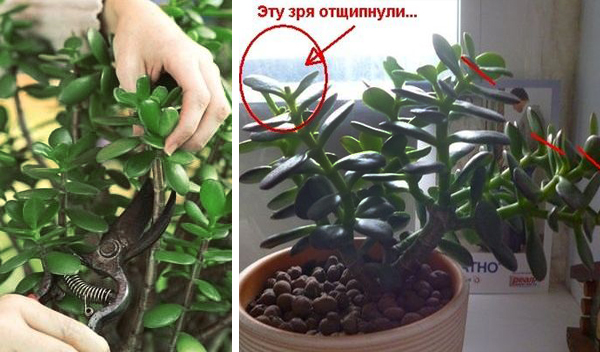 Как правильно обрезать денежное дерево