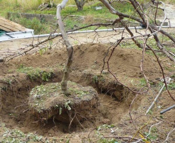 В апреле можно пересаживать виноград