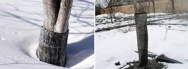 Защита деревьев от грызунов и морозов