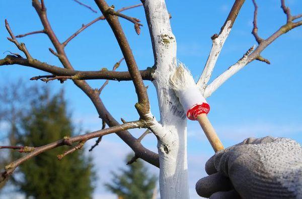 Осенью рекомендуется заниматься побелкой деревьев