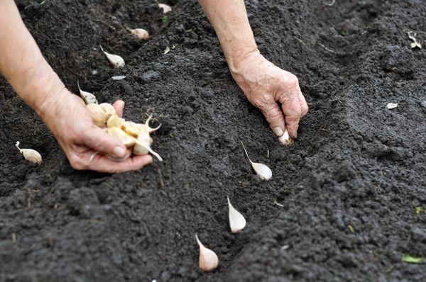 Посадка чеснока в открытый грунт