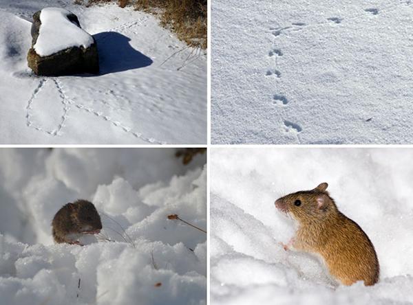 На снегу видны следы вредителей, что может помочь в борьбе с ними