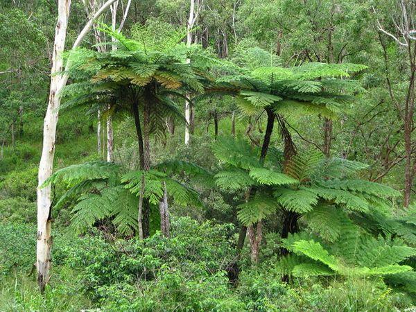 Циатейные распространены в тропиках