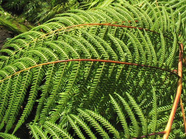 Циботиевые – это семейство высокорослых растений