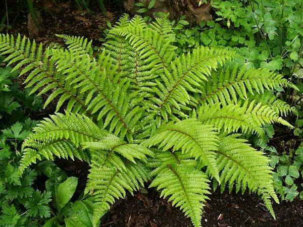 Можно ли выращивать лесной папоротник в квартире