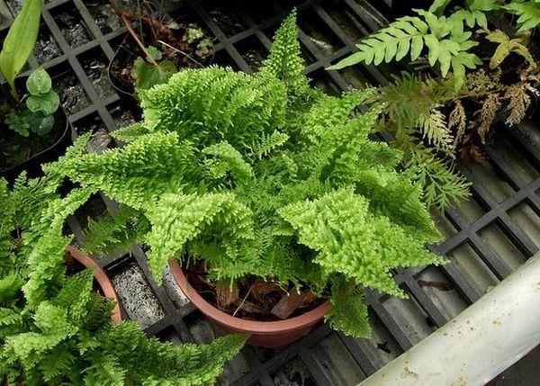 Молодые растения пересаживают ежегодно