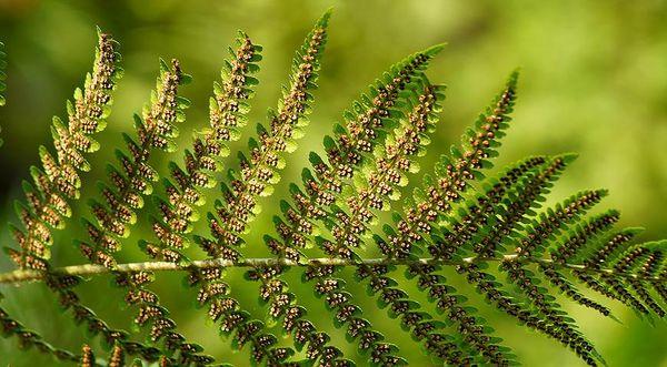 Растение можно размножать спорами