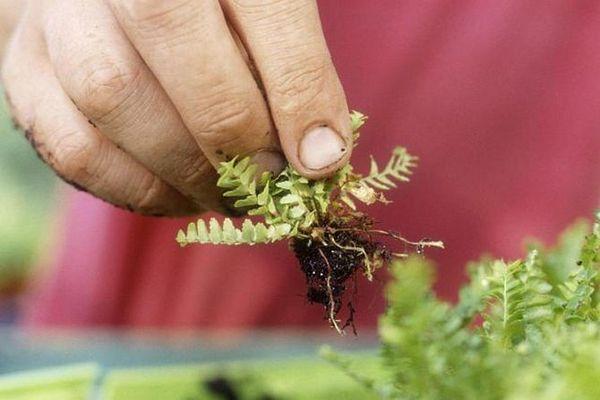 Растение часто размножают отростками