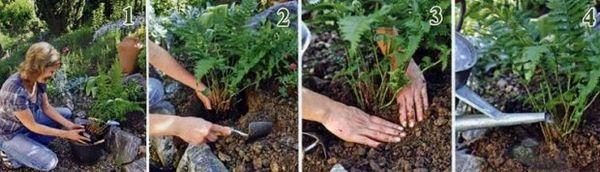 Посадка садового папоротника