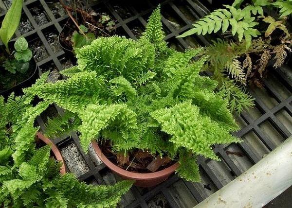 Папоротники – древняя группа растений