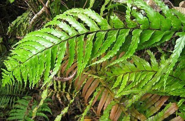 Мараттия включает 60 видов,
