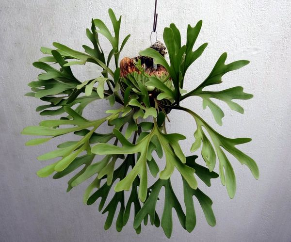 Олений рог распространен в тропиках