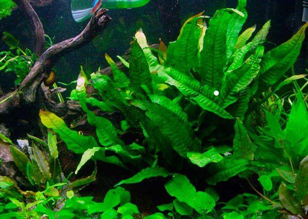 Аквариумное растение таиландской разновидности