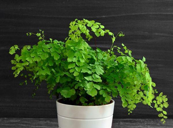 Папоротник адиантум – это домашнее растение