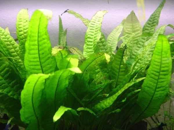 Таиландский вид гидрофита