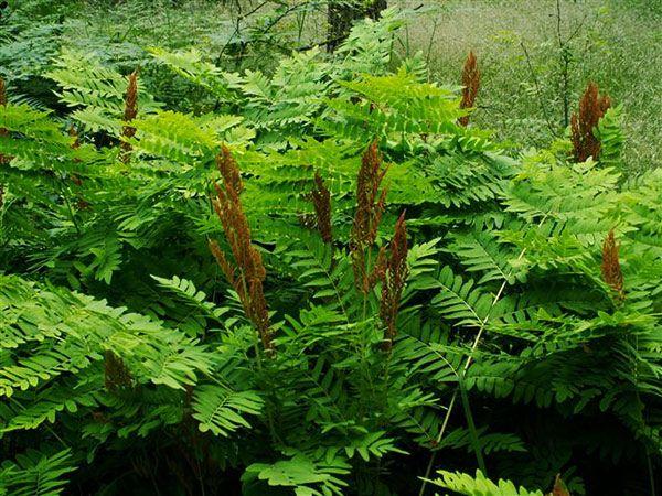 Растение Осмунда королевская