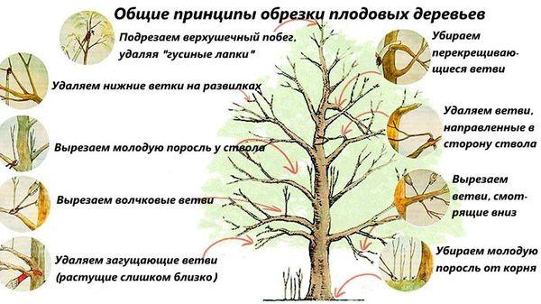 Правила обрезки садовых деревьев