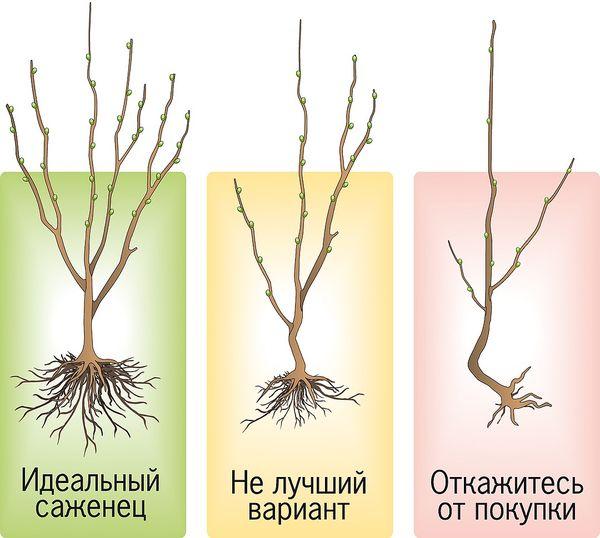 Состояние корневой системы саженца