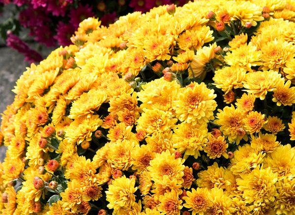 Хризантема Фанфары широко используется в горшочной культуре