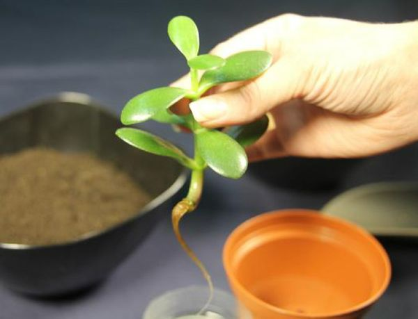 Как укоренить денежное дерево