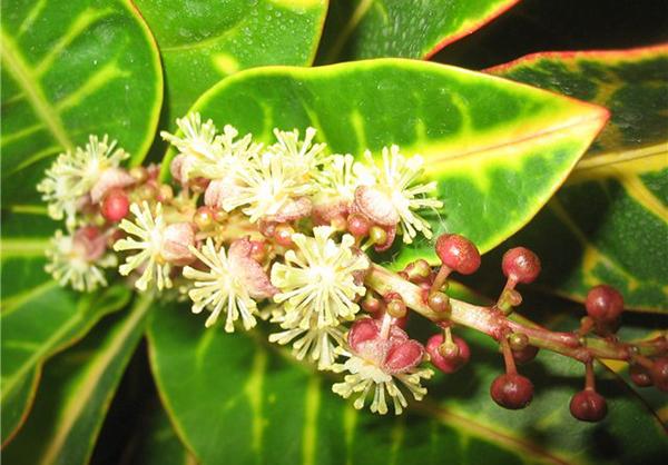Внешний вид цветов кротона зависит от конкретного вида