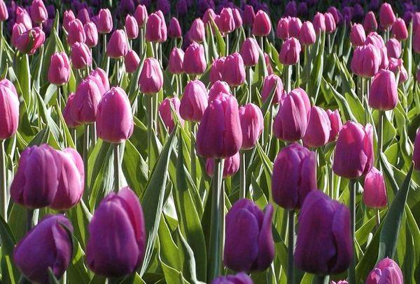 Тюльпан Негрита завоевал сердца многих цветоводов