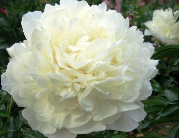 Молочноцветковый пион Мари Лемуан
