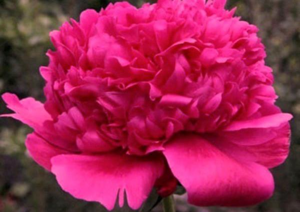 Молочноцветковый пион Феликс Краусс