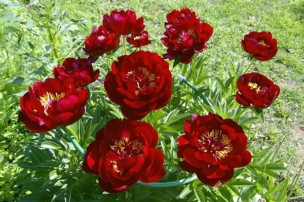 Молочноцветковый пион Бакай Белл