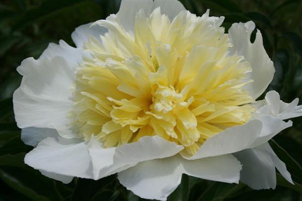 Молочноцветковый пион Хани Гоулд