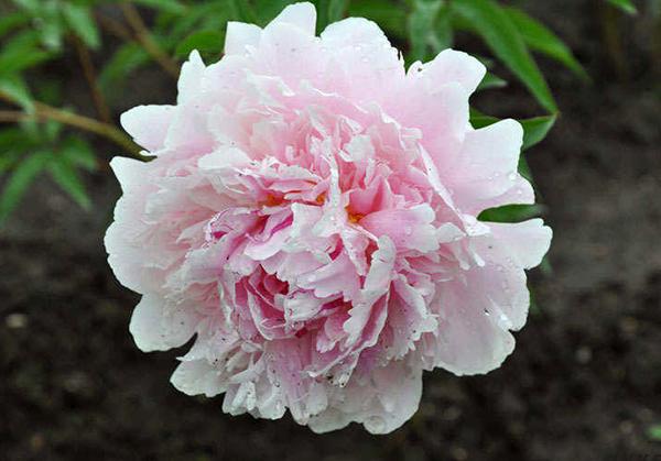 Молочноцветковый пион Леди Александра Дафф