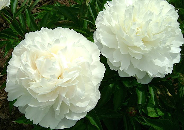 Молочноцветковый пион Эльза Сасс