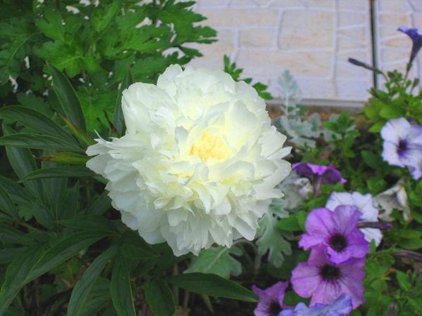 Сорт Дюшес де-Немур  - пион в российском саду