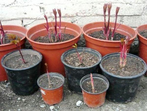 Комнатный пион следует высаживать в горшок весной
