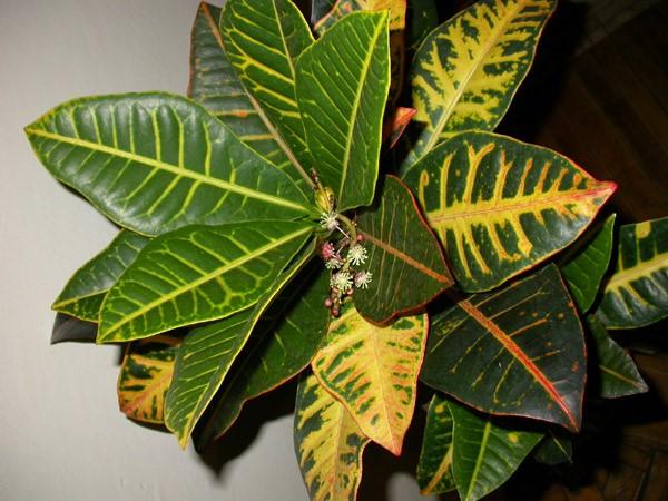 Представляют собой растения, листовые пластины которых имеют правильную овальную форму с немного закругленным окончанием