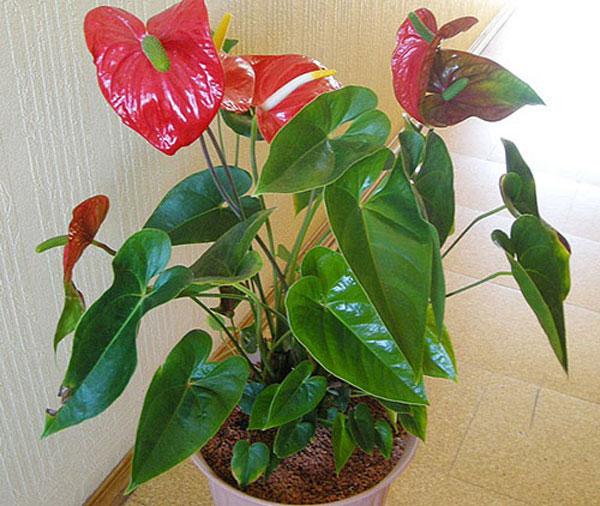 Красивый цветущий антуриум в квартире